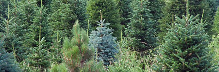Buy wholesale Christmas Trees, Cambridge, Newmarket, HAverhill, Saffron Walden